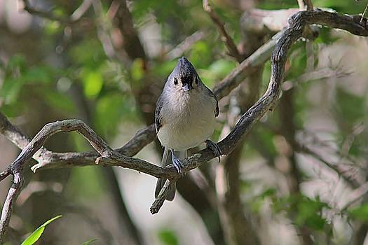Tufted Titmouse in the forest by Linda Crockett
