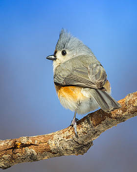 Tufted Titmouse by Kimberly Kotzian
