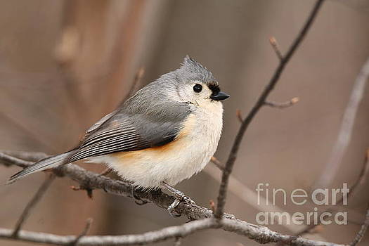 Tufted Titmouse by Tony Lee