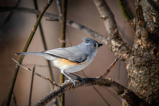 Tufted Titmouse WInter by Gary E Snyder