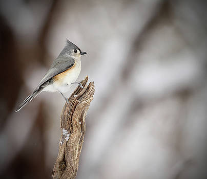 Tufted Titmouse by Kelly Lucero