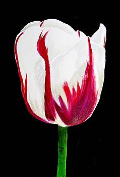 Tulip 2017 by Carol Blackhurst
