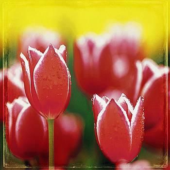 Ingrid Smith-Johnsen - Tulip 39