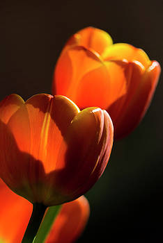 Tulip Afternoon by Michael Hope