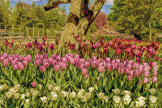 Tulip bed at Longwood Gardens in PA by Geraldine Scull
