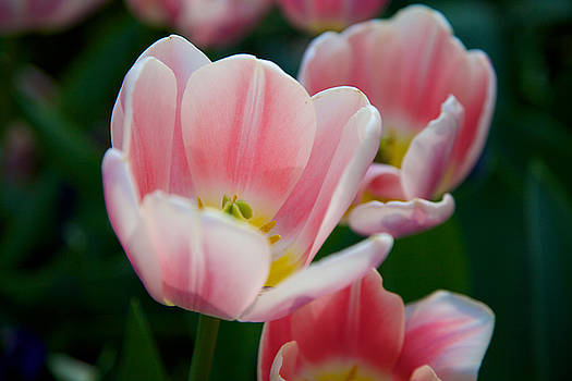 Tulip Bloom by Fedil