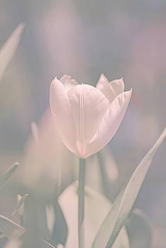 Tulip by Bob Orsillo