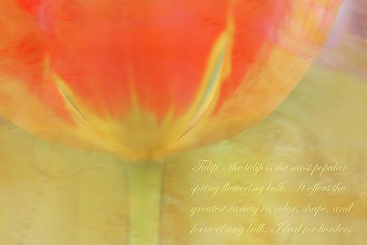 Tulip by Catherine Alfidi