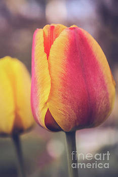 Tulip close up by Claudia M Photography