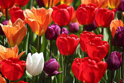 Rosanne Jordan - Tulip Color Bombastic