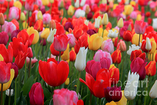 Tulip Color Mix by Peter Simmons