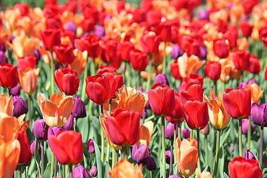 Rosanne Jordan - Tulip Dance