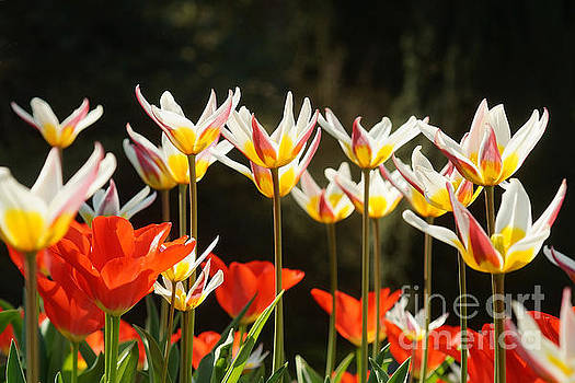 Tulip Field 11 by Rudi Prott
