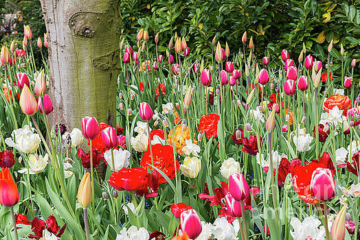 Tulip Field In De Keukenhof by Compuinfoto