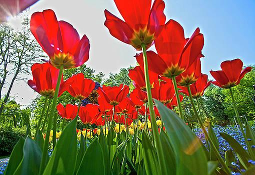 Heiko Koehrer-Wagner - Tulip field  on island Mainau
