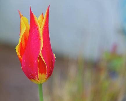 Tulip Fire by Diane Fifield