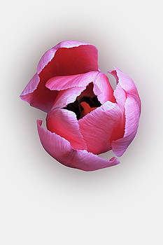 Tulip flower B by Nick Kurzenko