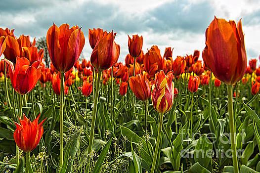 Tulip Flowers by Peter Dang