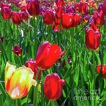 Tulip Garden in Bloom by D Davila