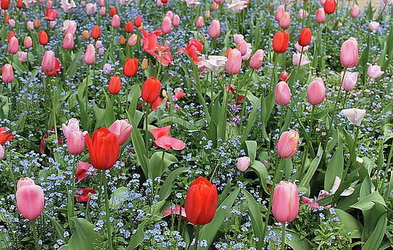 Tulip garden by Maria Preibsch