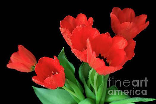 Tulip Hearts by Tracy Hall