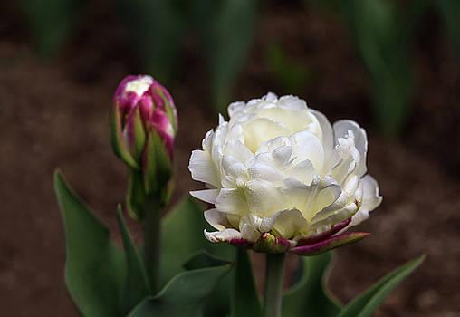Tulip ICE CREAM by Irina Gladkaja