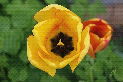 Tulip in Mid Bloom by John Winner