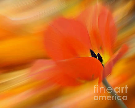 Tulip In Motion by Kathy M Krause