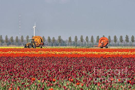 Tulip industry by Patricia Hofmeester