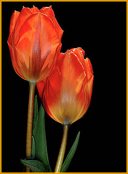 Tulip number two by Kenneth Eis