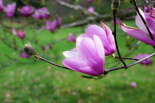 Tulip on Tree by Tiffany Dawn Smith