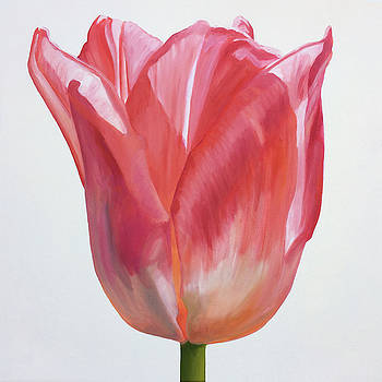 Tulip On White #1 by Kathy Armstrong