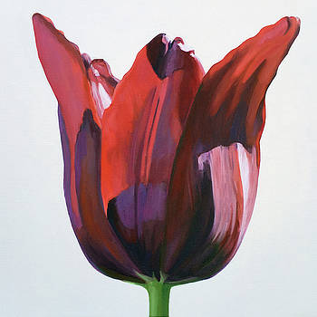 Tulip On White #2 by Kathy Armstrong