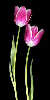 Tulip Pink Group Three by Christopher Gruver