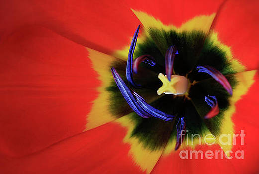 Tulip Radial by Tracy Hall