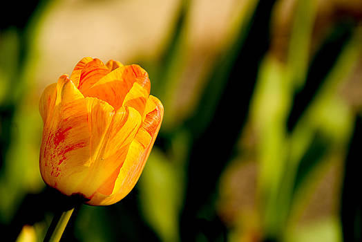 Tulip by Rob Byron