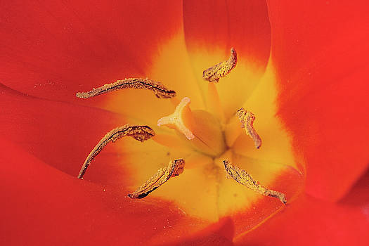 Tulip by Rodger Werner