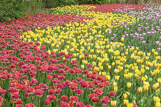Tulip Rows by Josef Pittner