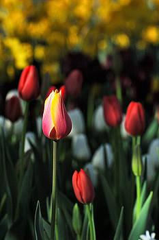 Edward Sobuta - Tulip Series 14