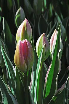 Edward Sobuta - Tulip Series 3