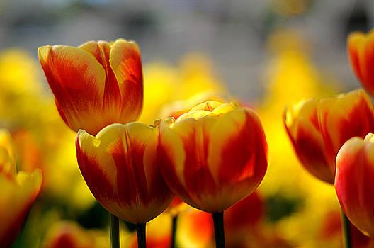 Edward Sobuta - Tulip Series 4