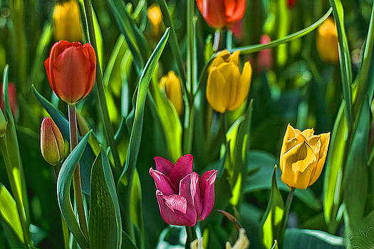 Edward Sobuta - Tulip Series 5