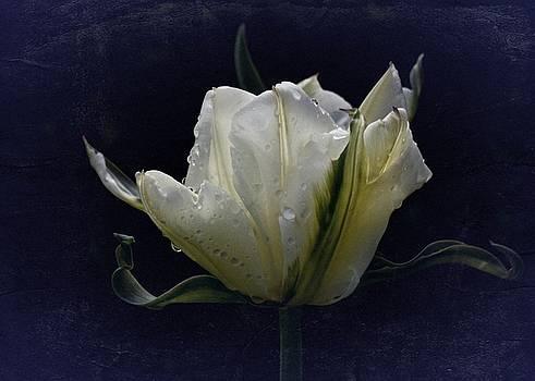 Tulip Tears by Richard Cummings