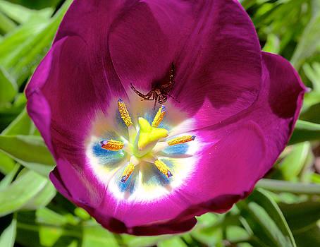 Tulip with garden spider by Trever Miller