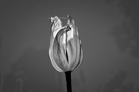 Tulip yellow on blue BW #h6 by Leif Sohlman