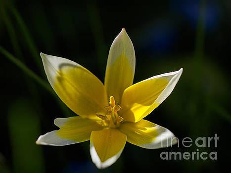 Ismo Raisanen - Tulipa Tarda in Evening Light