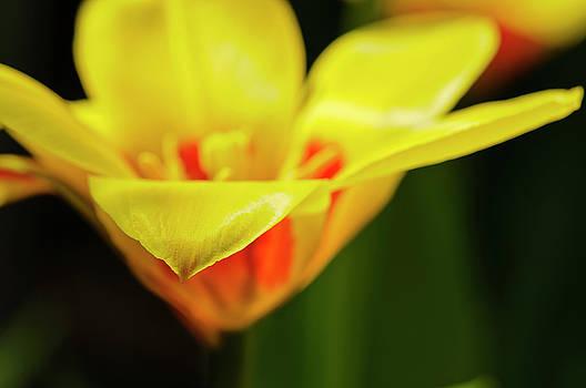 Christine Kapler - Tulipa Zombie