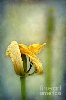 Tulips 01 by Barbara Corvino