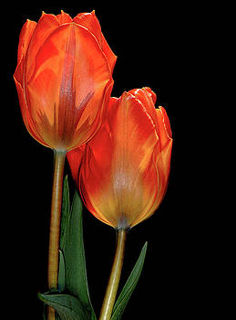 Tulips 1 by Kenneth Eis