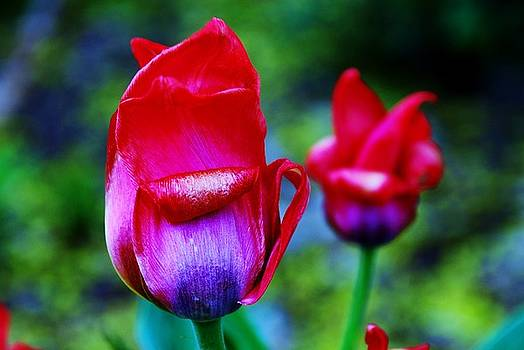 Tulips 1 by Lisa M Smith